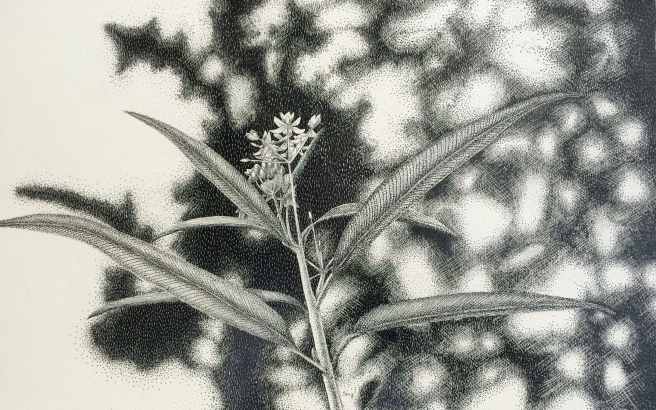 milkweed scratch