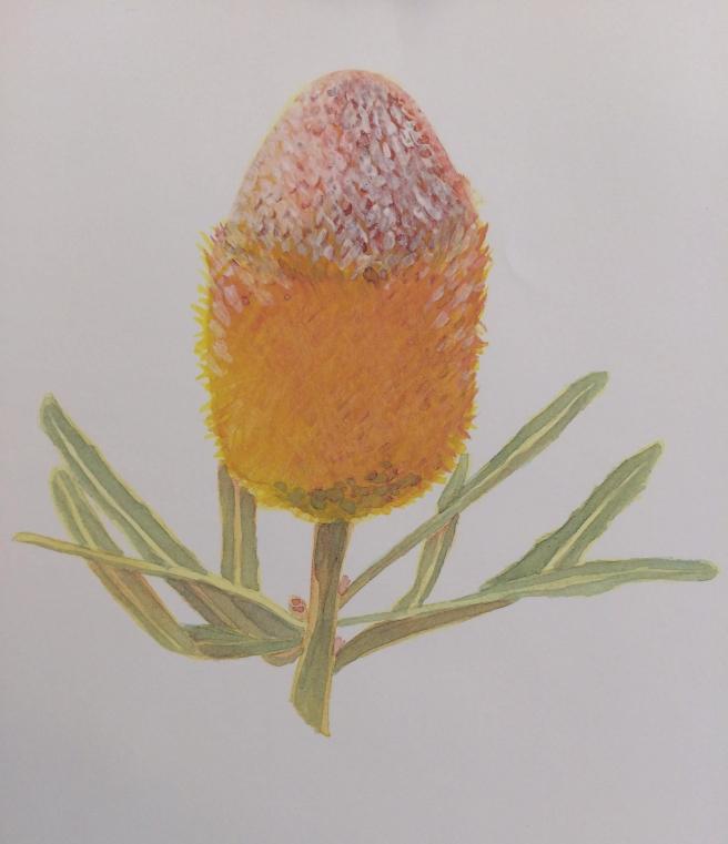Banksia, SLO Botanical Garden
