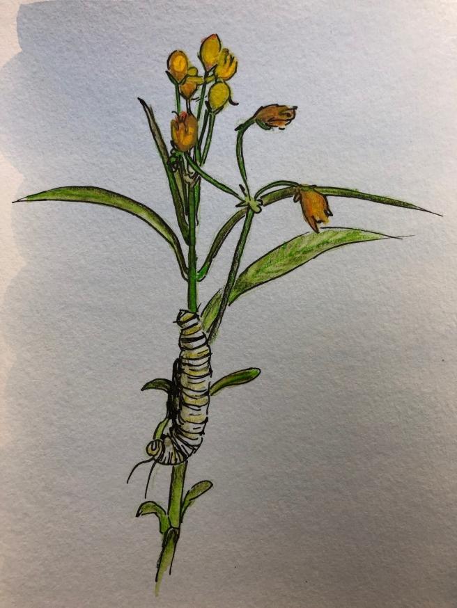 monarch caterpillar