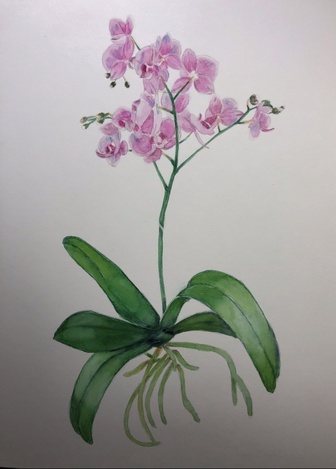orchid botanical
