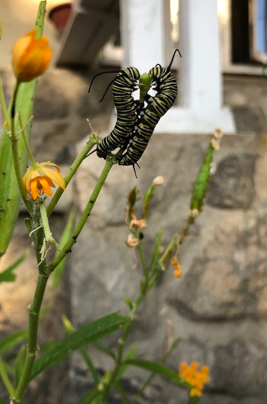 two larva